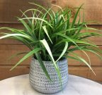 PL18-Green Grass in white washed pot