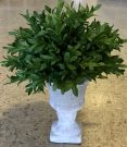 PL12a-Boxwood in Concrete Urn, small