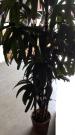 PLT07-Fan Palm Tree in wicker pot, 6′ Tall