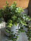 PL08b-Green Weeping Ivy, concrete/black pot
