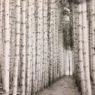 A88a-Black & White Birch Forest, XXL