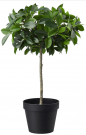 PL13c-Potted Fig, Mini Topiary Tree