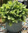 PL51c-Leafy Boxwood, Aqua wavy pot